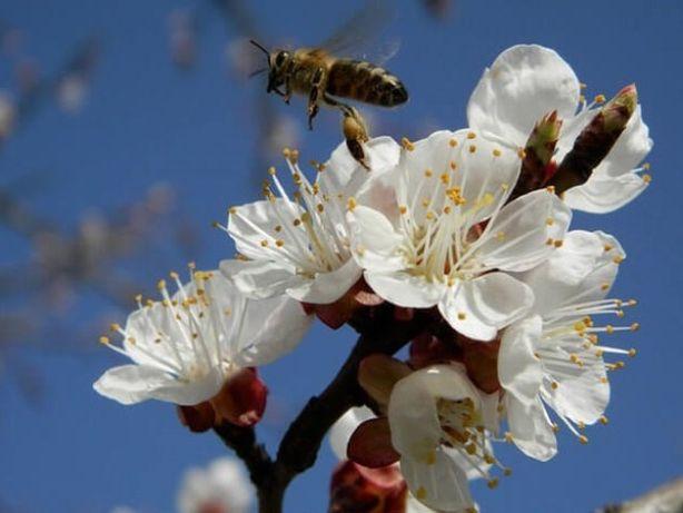 запилення бджолами садів і сільськогосподарських рослин
