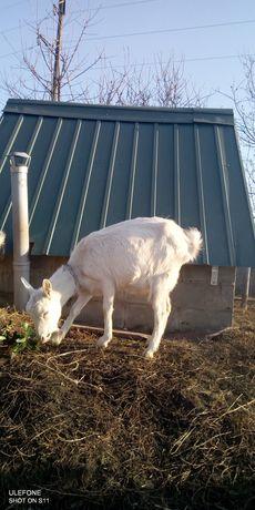 Продам белую козу