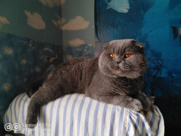Висловухий кіт на вязку