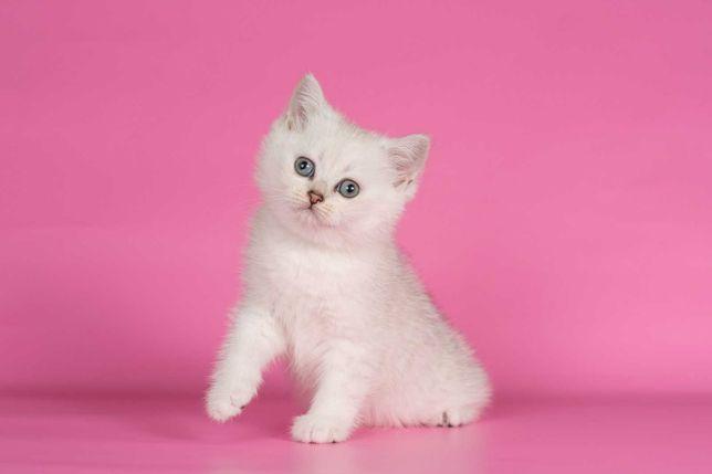 Шиншилловые котята мальчики и девочки