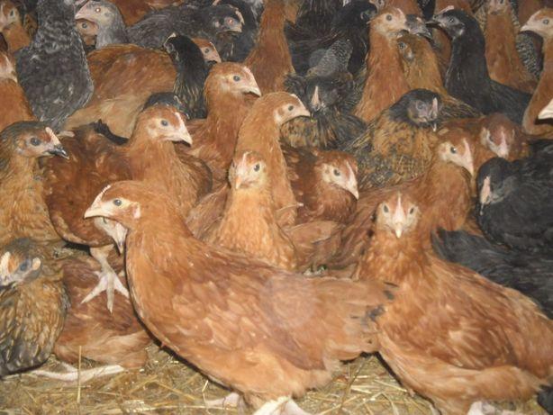 Kurczęta Odchowane Kury Nioski kaczki Gęsi indyki Perliczki kurczaki