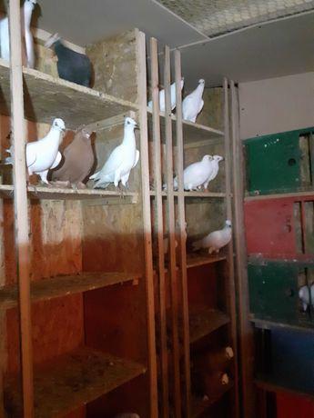 Gołębie jasne składowe