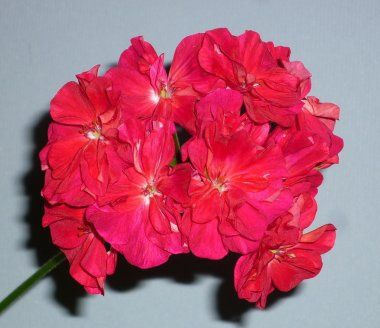 Пеларгония 'Bold Carmine'  50 руб.