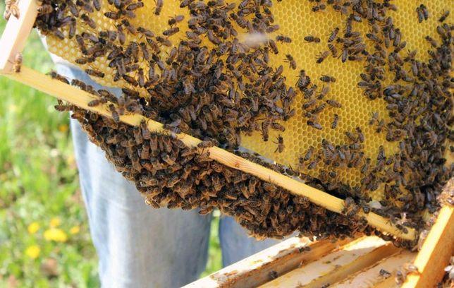 С май. Продуктивные. Матки. Украинская Карпатская пчела.