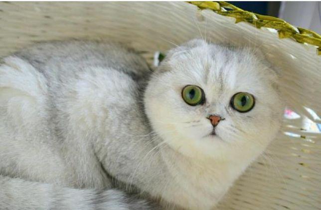 Вязка !!!Кот шотландец ( вислоухий)