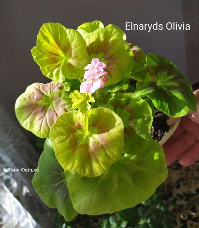 Пеларгонія Elnaryds Olivia