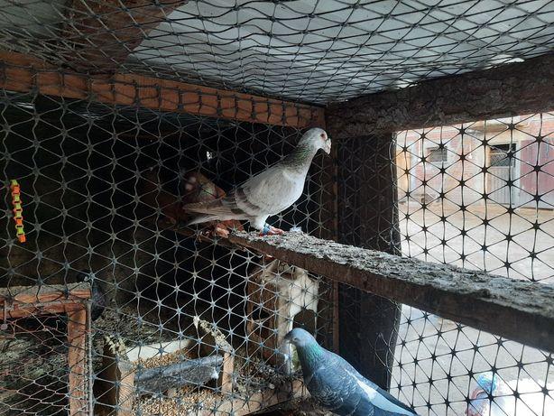 Gołębie staropolskie i pocztowe