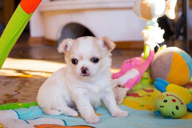 Chihuahua długowłosy - rodowód ZKWP/FCI - piękny biało-złoty piesek