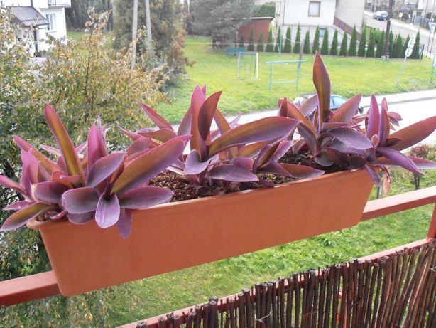 Roślina o fioletowych liściach - Setkrezja purpurowa