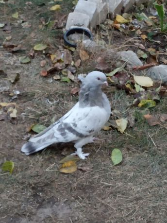 Продам голубей породы Турецкая такла