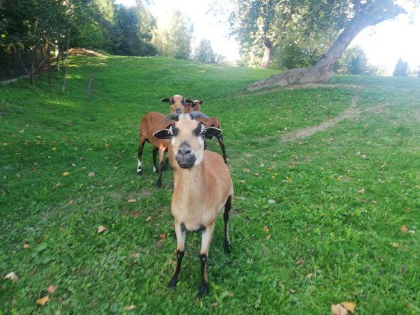 Owce i tryki kameruńskie