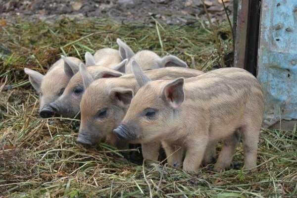 Свині венгерської породи