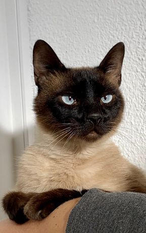 Gato Siamês - jovem adulto para adoção
