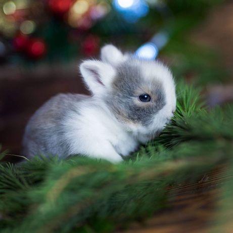 Karzełki mini teddy mini lop odbiór dowóz króliczek miniaturka