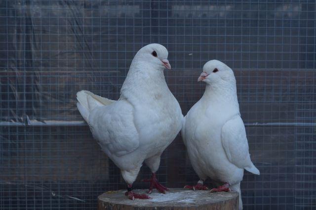 Gołębie Kingi King Para lęgowa białe wysyłam
