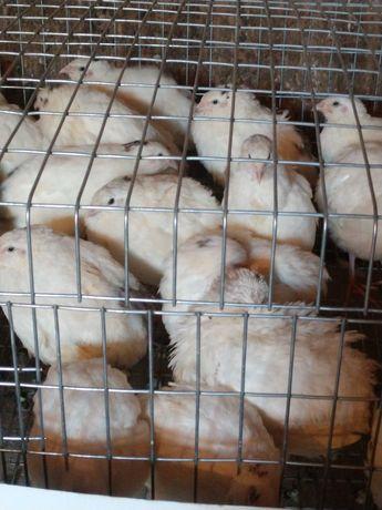 Инкубационные перепелиные яйца .техасский перепел.цена указана с упако