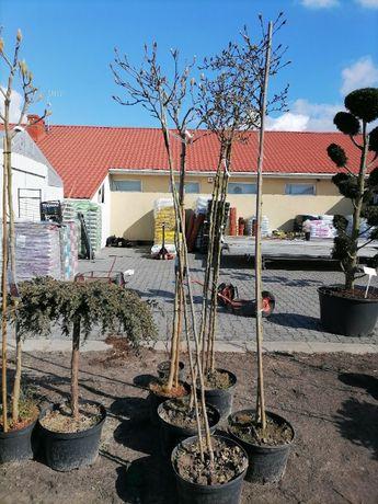 Magnolia na sztamie 200cm