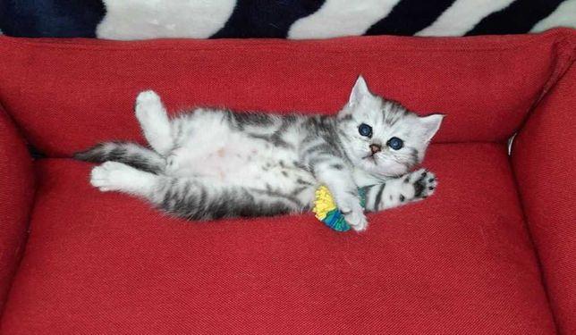 Мраморный котёнок, как в рекламе