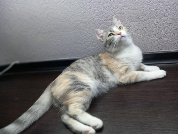 Трехцветная кошка метис. В хорошие руки