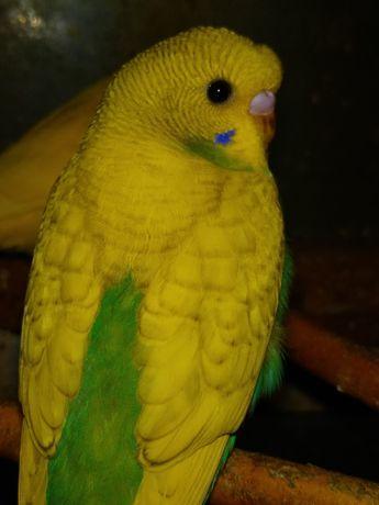 Распродажа  амадин и волнистых попугаев.