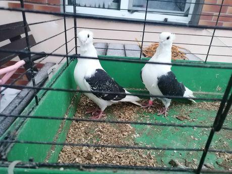 Gołębie. Mewki