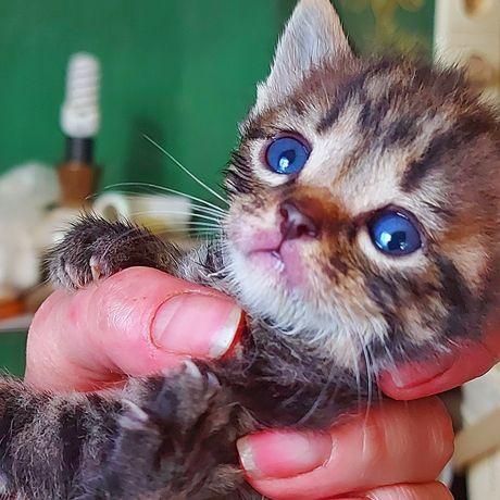 Доступны к бронированию маленькие котята/гномята