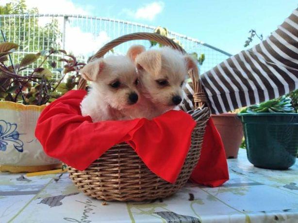 Chihuahua beje e branco