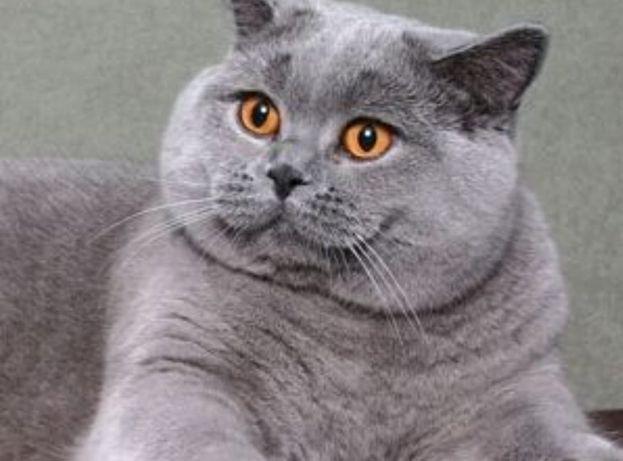 Rodowodowy piękny reproduktor zaprasza na krycie wszystkie kotki