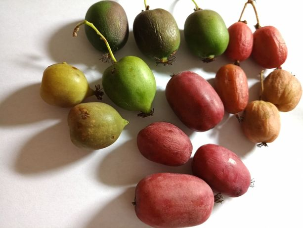 Актинидия морозостойкая урожайная, сладкая, вкусная и очень полезная.