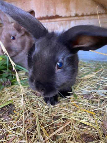 sprzedam małe króliczki królik,króliki,króliczki,Mini lop do rezerwac