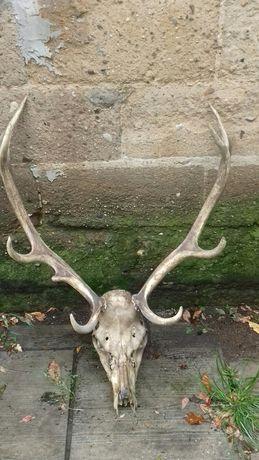 Stare wielkie poroze z czaszka cena 890 zl