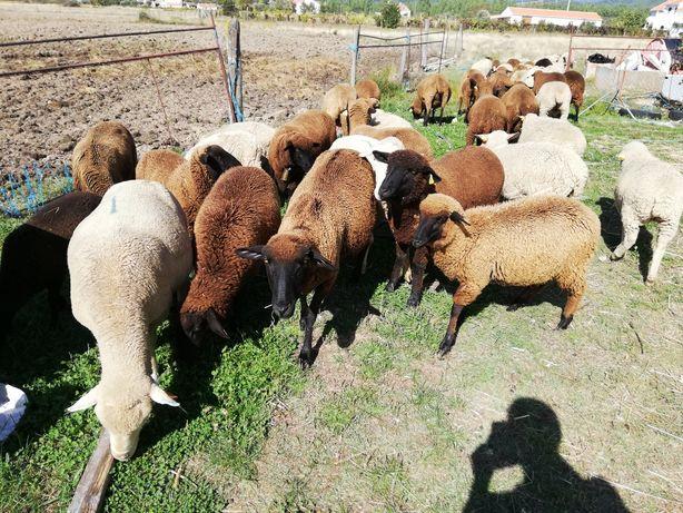Rebanho ovelhas cruzadas