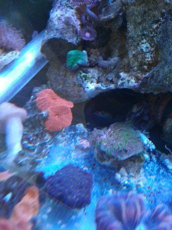 Leptastrea koralowiec lps