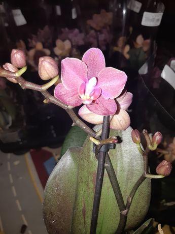 Орхидеи, Парфюмерная фабрика