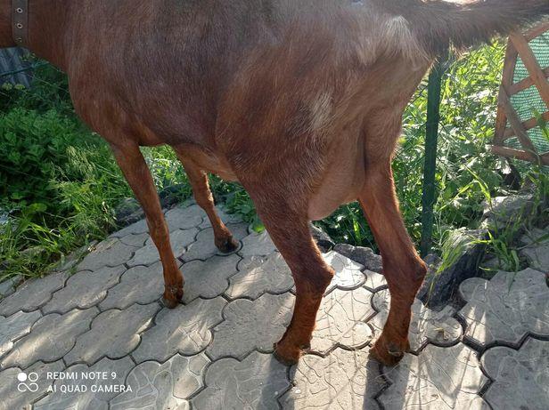 Продам нубийских коз