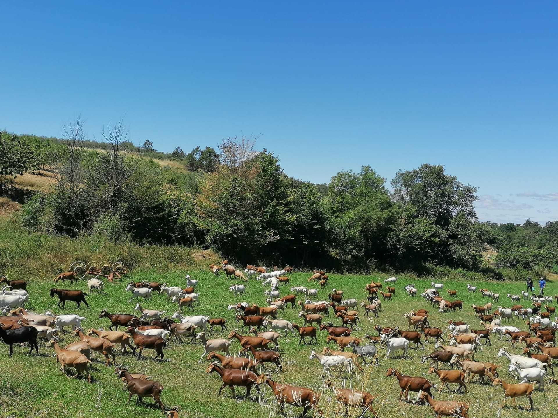 270 Cabras de leite