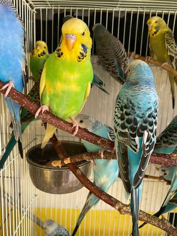 Волнистые попугаи. Выставочные экземпляры