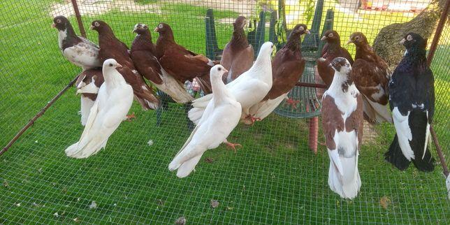 Gołębie zamojskie 14 sztuk
