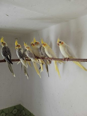 Papugi Nimfy młode
