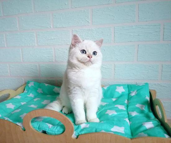 Mam do sprzedania ślicznego kota. Rasa brytyjska (BSH).