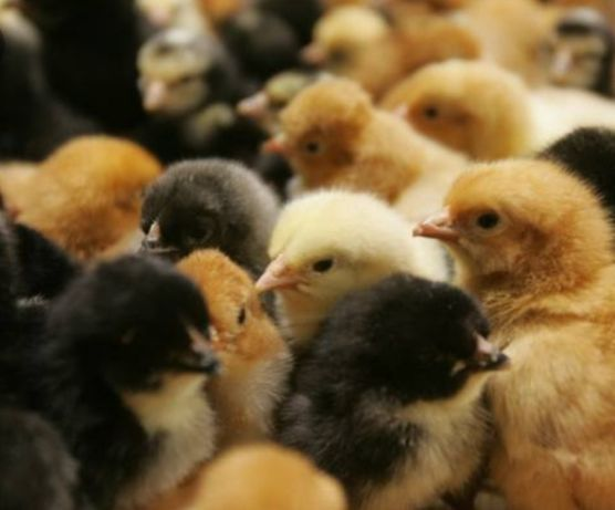 Kurczaki dostepe kury nioski kurczęta jednodniówki jednodniow
