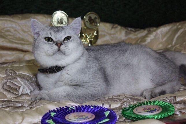 Шотландский прямоухий кот шиншилла чемпион WCF Ахмед Осман