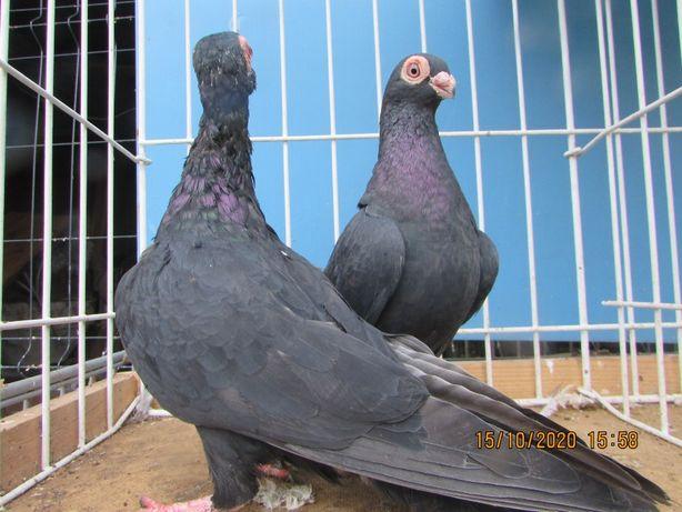 brodawczak czarny, brodawczaki czarne, gołębie ozdobne