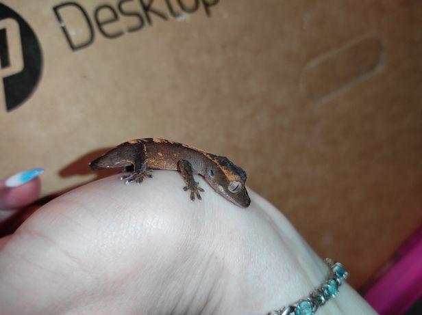 Распродажа ! Морфный геккон бананоед с мини хвостиком 1 мес
