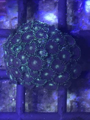 Zoa zielony, zoanthus akwarium morskie