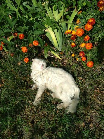 Кот белого окраса вислоухий