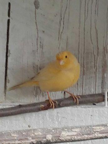 Żółta samica kanarka.