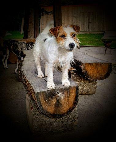 Jack Russell Terrier - szczenięta ZKwP