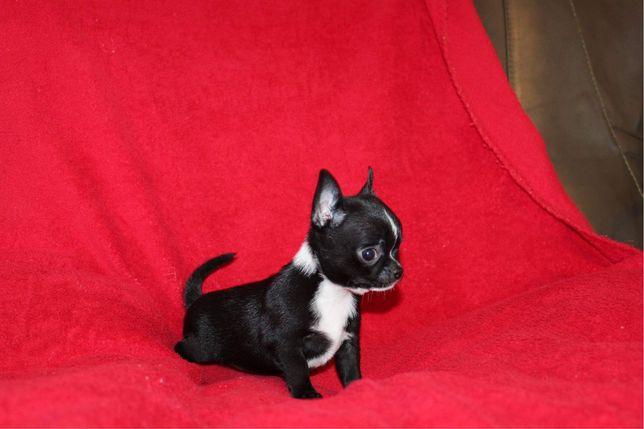 Sliczna malenka chihuahua