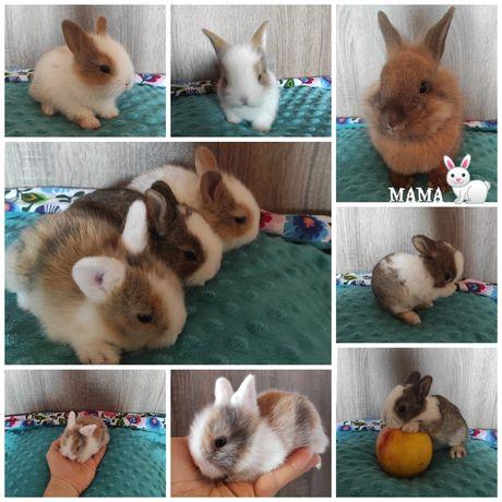 Królik karzełek mini króliczki króliczek miniaturka małe około 1200g